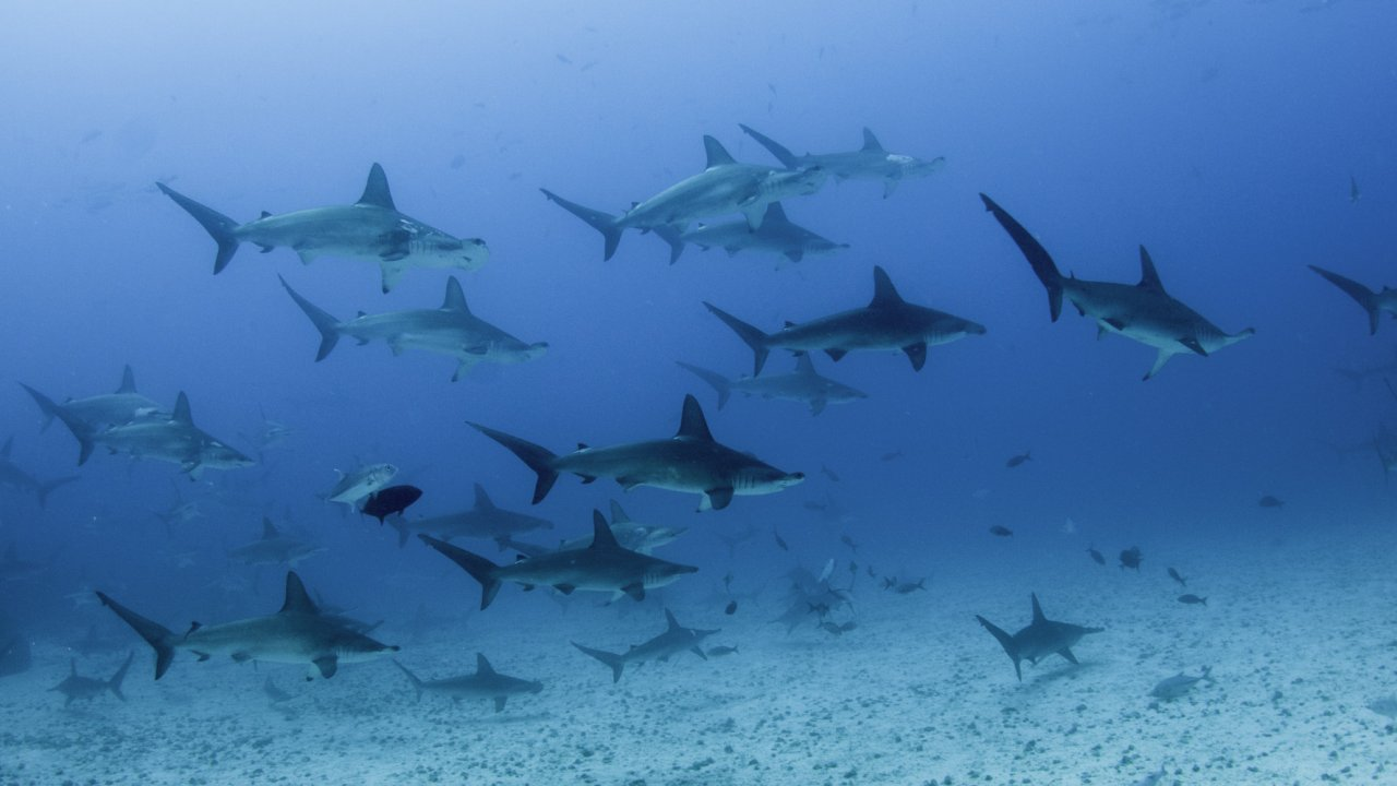 hammerhead sharks in Galapagos