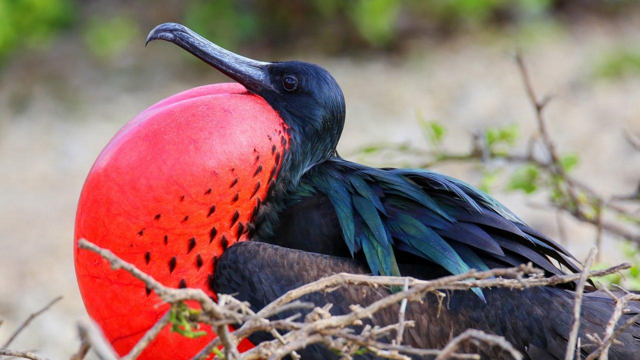 Great Frigatebirds of the Galápagos