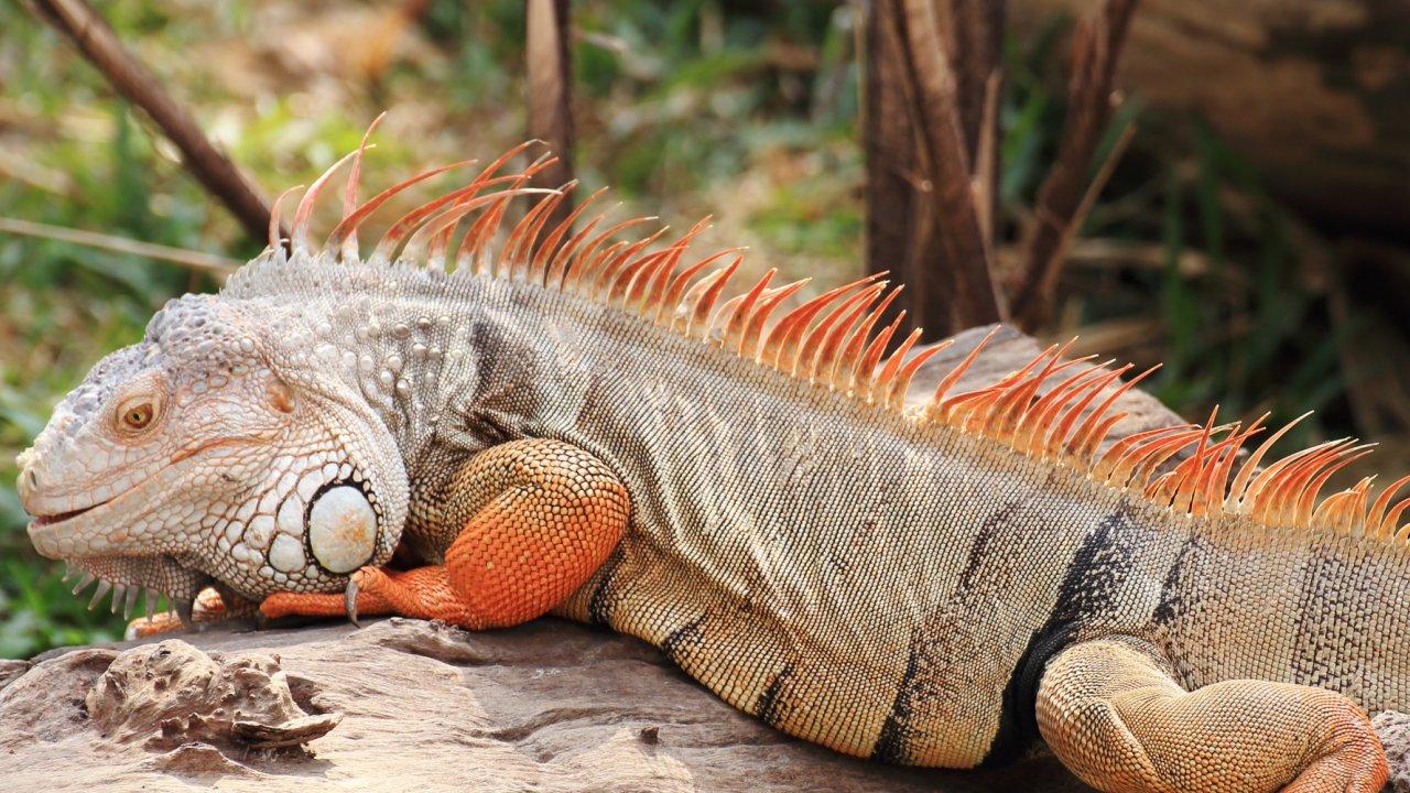 Iguana on a galapagos beach