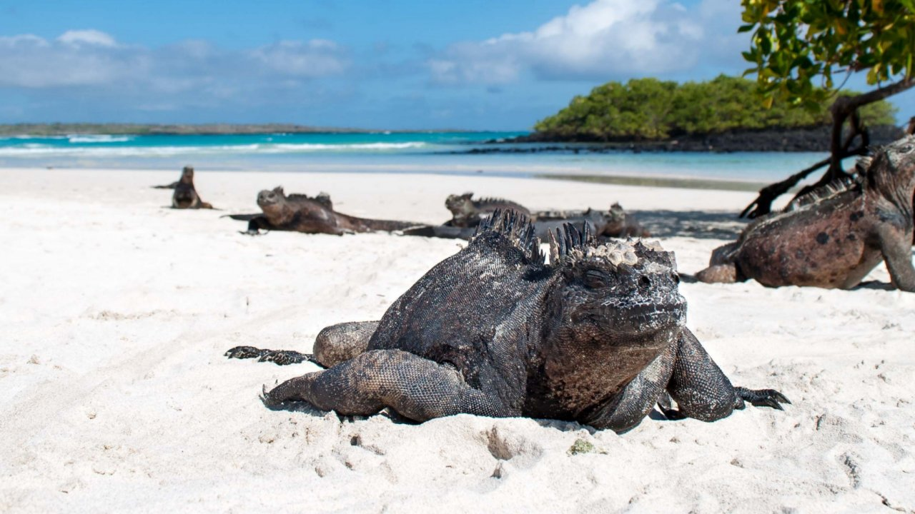 Iguana on a galapagos beach
