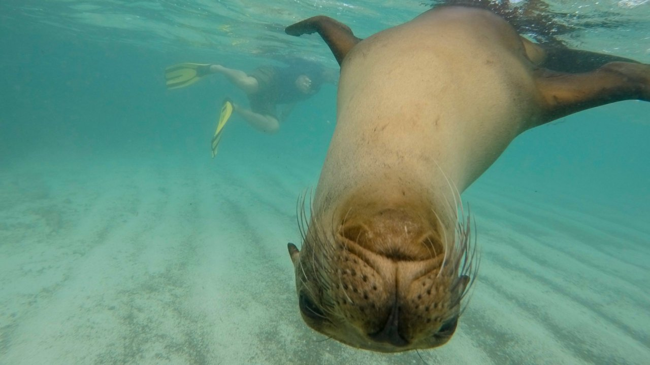 Snorkel with Sea Lions Galapagos