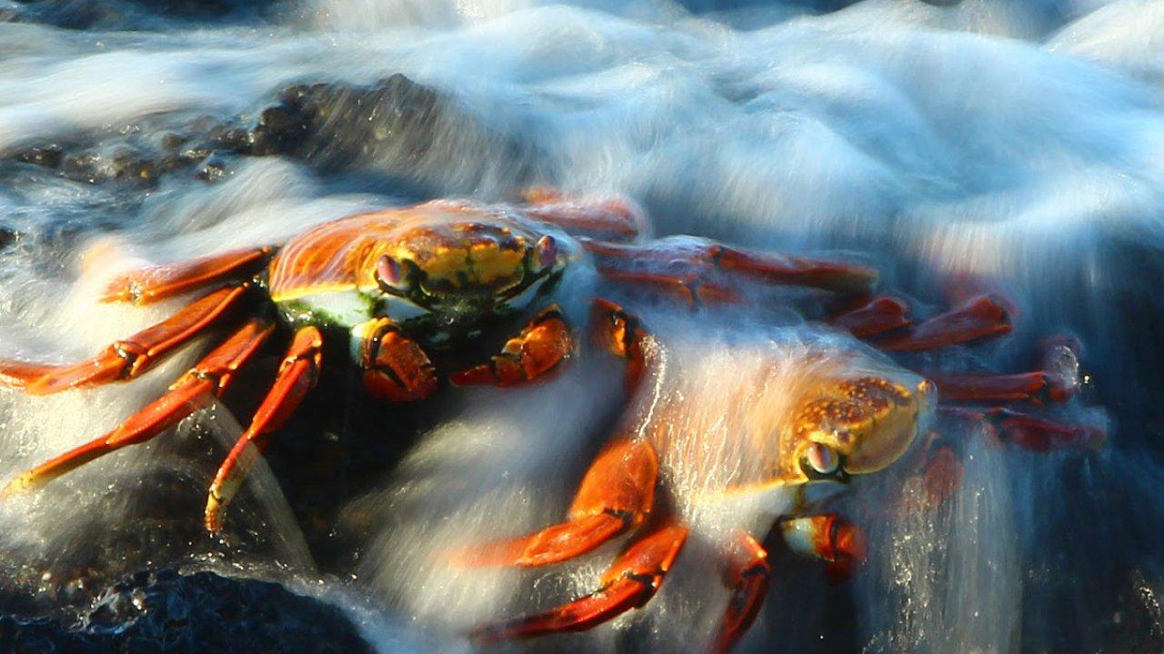 tip top ii - sally lightfoot crab