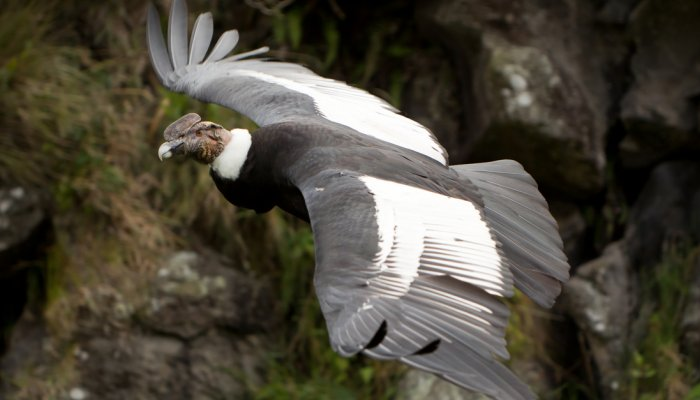 Andean Condor