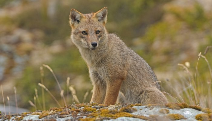 ANDEAN FOX, or CULPEO