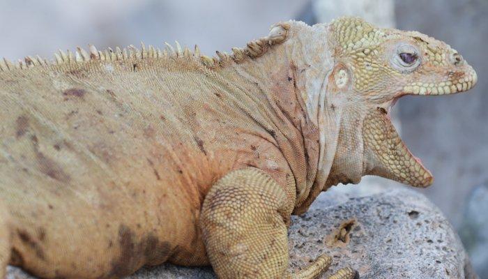 Barrington Land Iguana (Santa Fe Land Iguana)