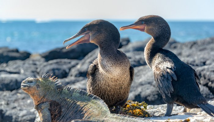 FLIGHTLESS (GALAPAGOS) CORMORANT
