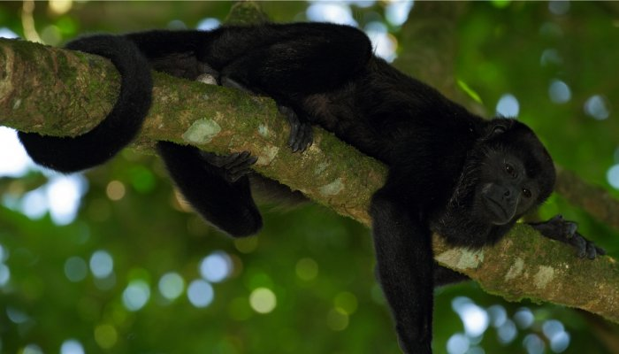 ECUADORIAN MANTLED HOWLER MONKEY