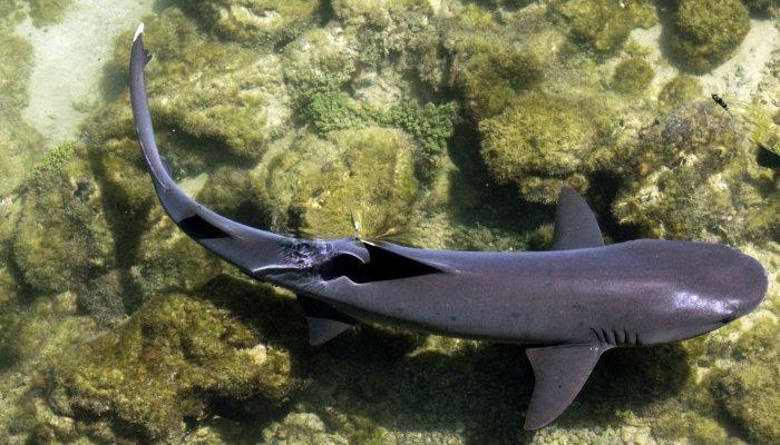 WhitetipReef Shark